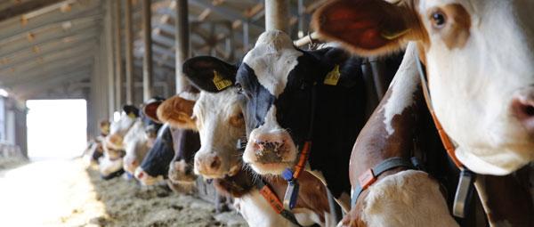 JOSERA Rinder im Fressständer wartend