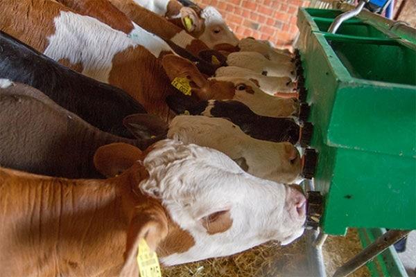 Karmienie cieląt mlekiem?
